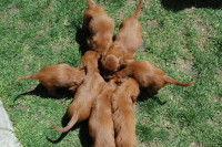 Irish Puppies, six weeks old, gathering around together.